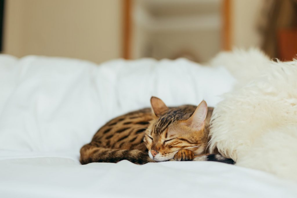 Bengal cat sleeping on bed