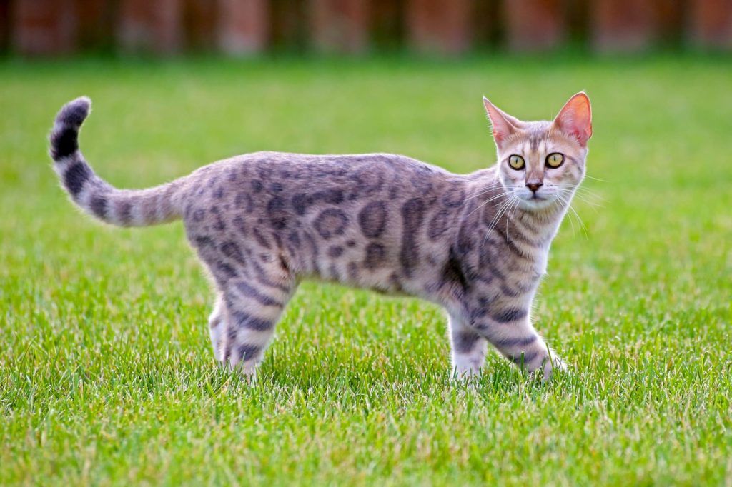Bengal cats good with kids, Are Bengal cats good with kids? A guide for parents