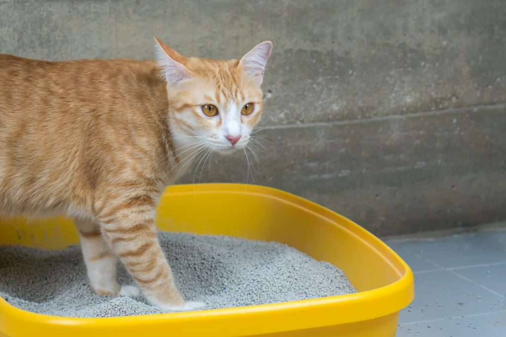 Cat standing in litter