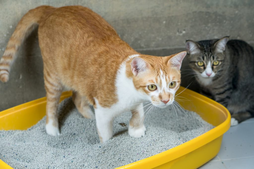 Cat using litter box, while another stares