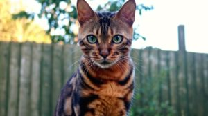 Beautiful bengal cat with green eyes in garden