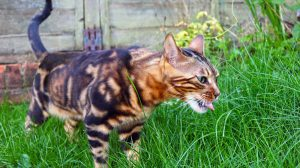Female Bengal cat eating grass