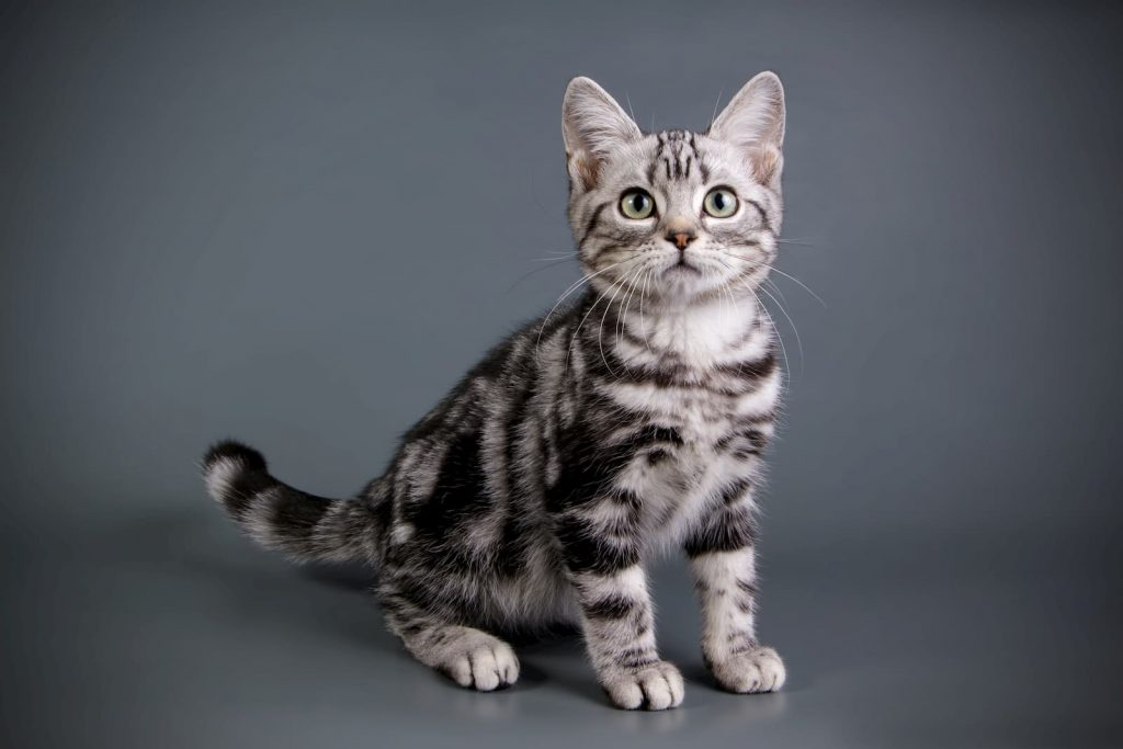 American shorthair cat with green eyes