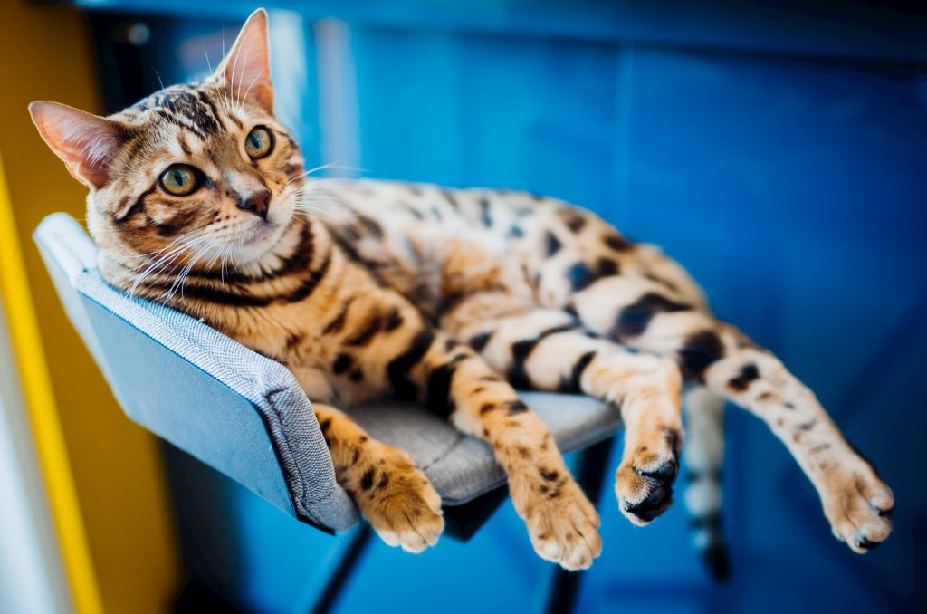 Bengal cat laying on a chair