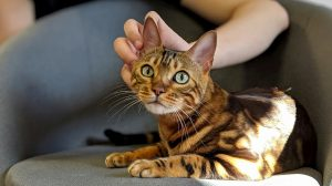 Bengal cat laying on a chair being stroked