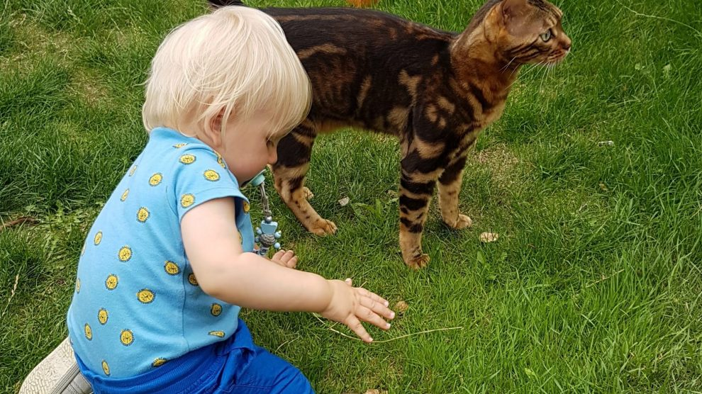 Bengal cat with a baby toddler