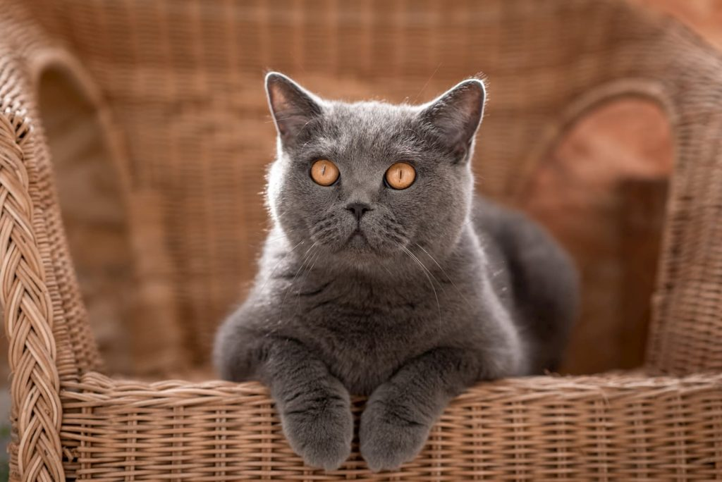 Gray British Shorthair cat laying on a chair
