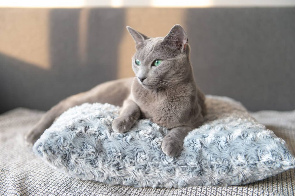 Russian blue cat with green eyes laying on a pillow