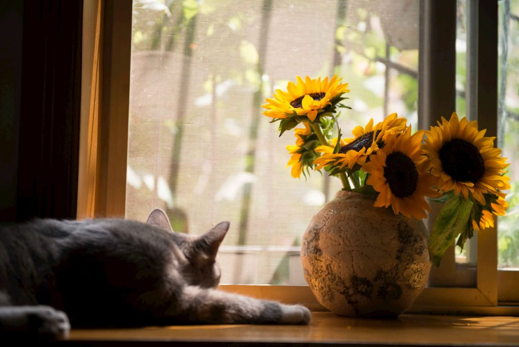 Cat laying on a window sill next to sunflowers