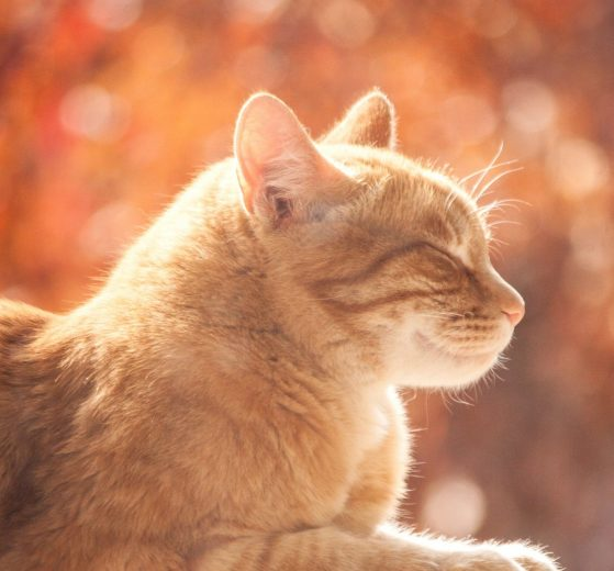 Ginger cat laying in the sunshine