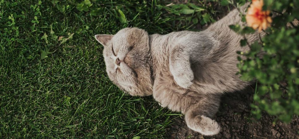 Grey scottish cat laying in grass