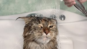 Washing cat in bathtub
